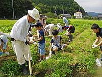 拳大の芋の収穫に子供達の芋掘りにも熱が入る