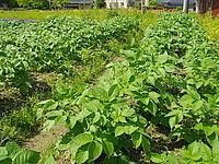 立派なジャガイモが穫れそうな予感