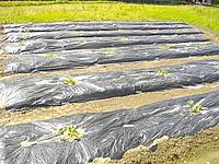 和の家ひきこもり支援の瓜栽培開始