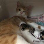 子猫の預かりボランティア